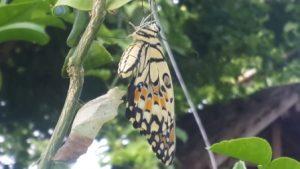 Habitat kupu-kupu, tanaman bunga dan cabai hidup bersama